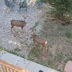 Local deer in backyard of motel