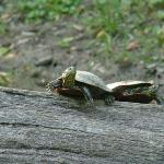 Two turtles sunning themselves on a log on the lake.