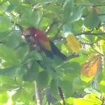 Ara rouge dans les arbres