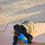 Balù the black Labrador
