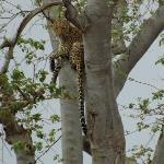 Leopard from our Game Drive