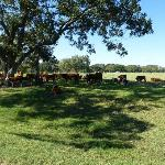 Cattle on LBJ Ranch