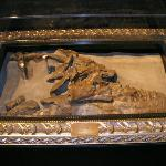 Skull of Albertosaurus discovered by Joesph Tyrrel