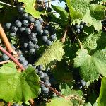 Grapes...delicious