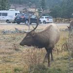 Elk in our front yard