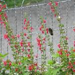 Hummingbird in the garden