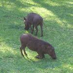 Warthogs houden hier het gras kort