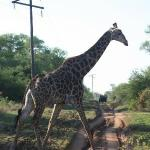 Giraffe viewed on one of our game drives