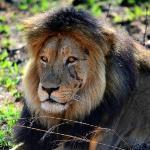 Lion - Welgevonden