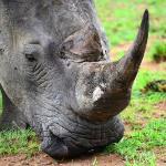 White rhino - Welgevonden