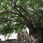 Saber Tree at Ruins