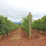 Miles of vines