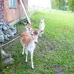 The lovely deer