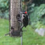 Woodpecker on the bird feeder outside the breakfast room