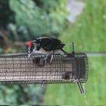 Woodpecker on the bird feeder outside the breakfast room