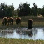 Wild Horses on Carrot Island
