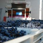 We were just in time to see grapes being harvested and pressed (Oct 25, 2012).