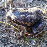 Banjo frog (another local)