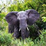 Elephant fake charge