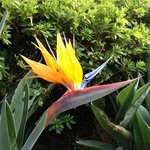 Bird of Paradise in courtyard