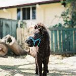Abbott the miniature horse