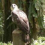 The majestic Philippine Eagle is critically endangered