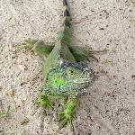 Iguana on hotel beach.