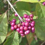 Purple Berries on a shrub near the lake