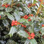 Holly Bushes by the lake