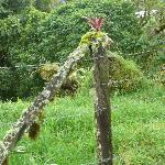 bromelaid growing a mossy fence post