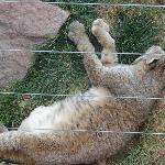 Bear country Bobcat