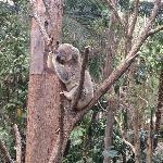 moe koalas
