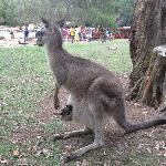 another kangaroo with a joey