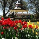 tulips in Bowral