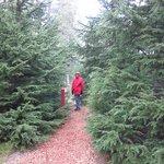 The forest at Hallormsstadur