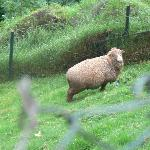 The Ram chews on grass faster than you can imagine !