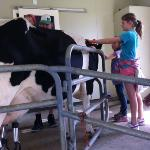 milking one of the cows