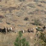 Bighorn Sheep on edge of Town