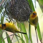 wevervogels