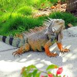 iguana greeting us