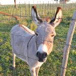 Miniature donkey on property next door
