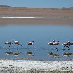 Salar flamingoes