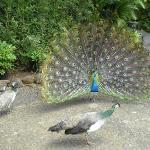 Peacock in Full Regalia