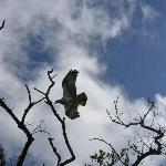 Ospreys preying ....
