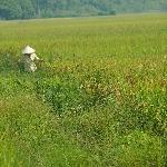 Lady in the rice fields