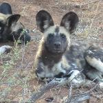 Second most endangered animal in South Africa -- the wild dog!