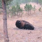 Wild Bison (we saw these before entering/paying)