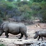 Step by step - baby rhino learning the ropes. Lions looking on in the background