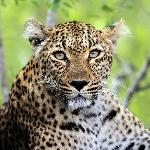 The elusive leopard - my favorite shot from the trip