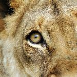 Incredible focus - this lioness locked on to us